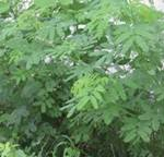 Desmanthus (Demanthus virgatus)